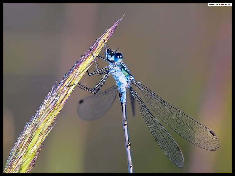 damselfly-in-dew