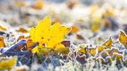 maple_leaf_and_grass_in_a_sunny_frost_October_morning.jpg