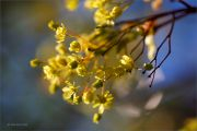 Spring-Gold_Maple-blossom_Ritam-W.jpg