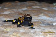 hyla-savignyi-in-amplexus-with-salamandra-infraimmaculata-photo-7.jpg