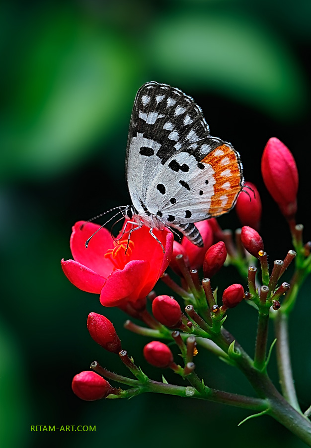 Red-pierrot_Talicada-nyseus-butterfly_1-Ritam-W1