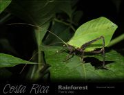 Green-leaf-katydid.jpg