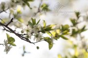 Cherry_blossoms_in_the_setting_sun_w2.jpg