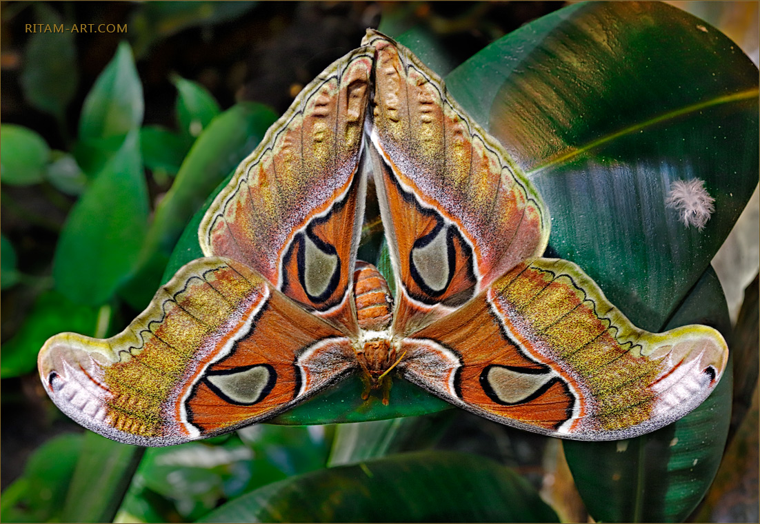 Attacus-atlas-butterfly_Ritam-W