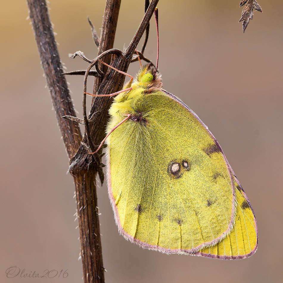 Crimean_yellow_butterfly_Colias_on_the_dry_grass_in_the_autumn