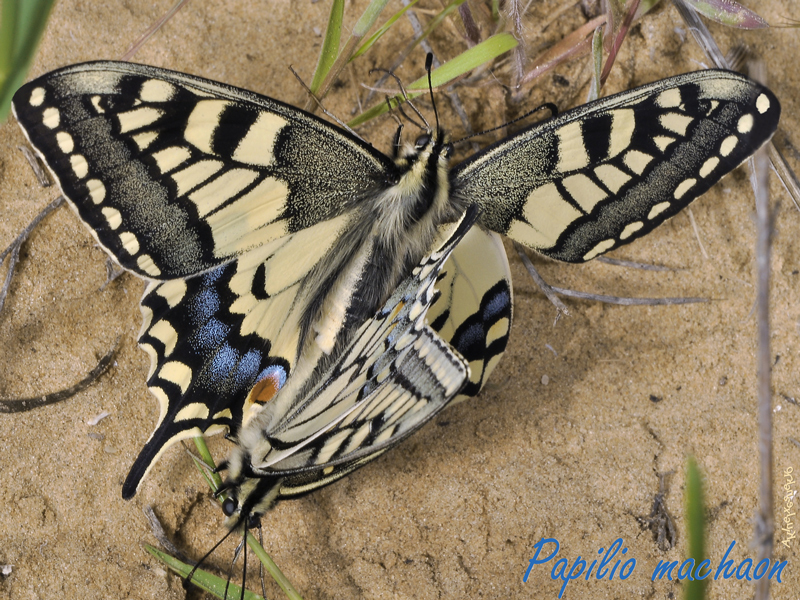 Papilio-machaon2