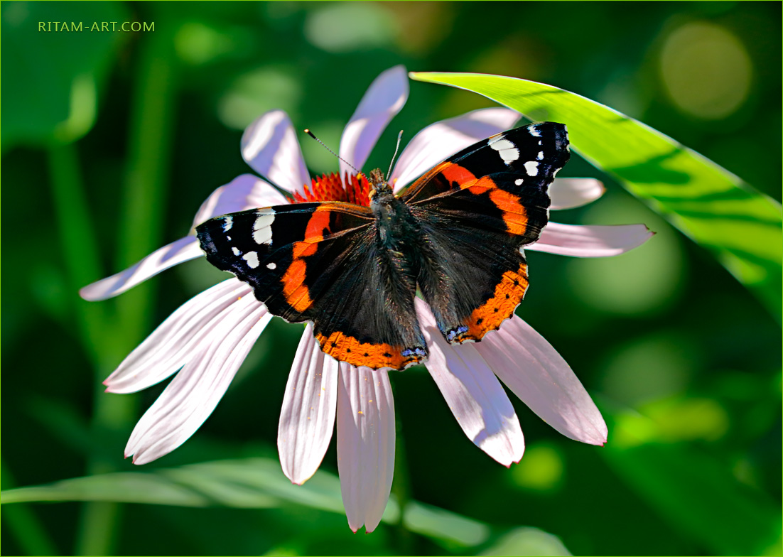 Summer-Joy_Admiral-butterfly_Ritam-W