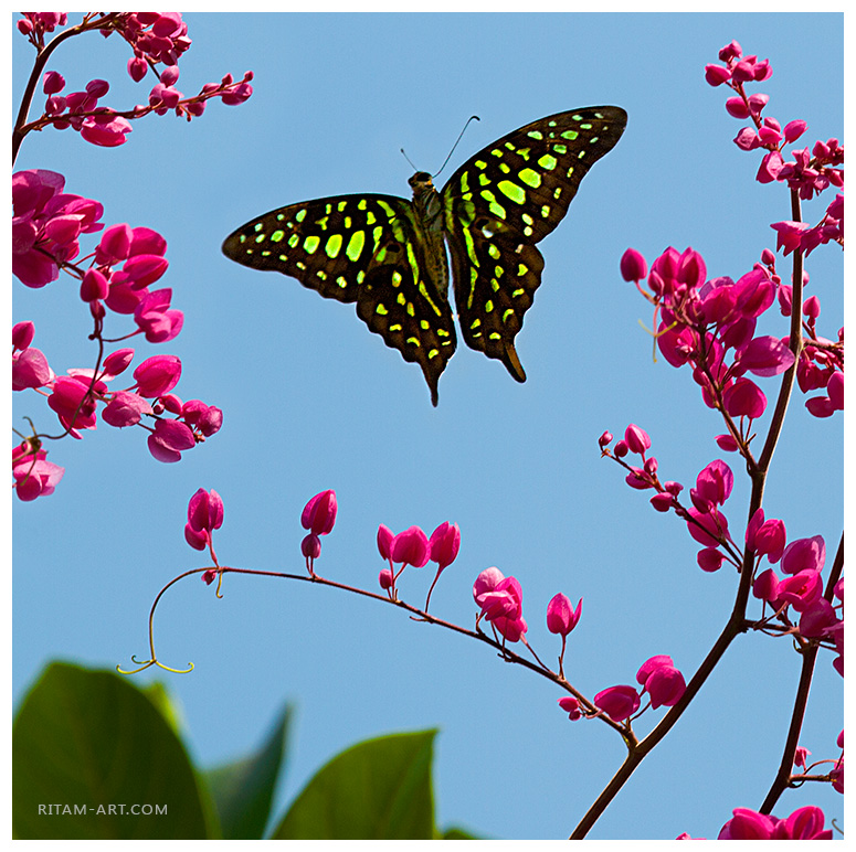 Winged-Dance_Graphium-Agamemnon-Butterfly_Ritam-sm