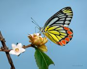 A-Sweet-Instant_Delias-eucharis-butterfly_Ritam-900.jpg