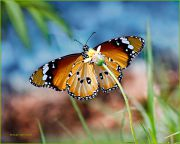 A-Winged-Dream_Danaus-chrysippus-or-Tiger-Butterfly_Ritam-900.jpg