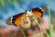 A-Winged-Tiger_Danaus-chrysippus-butterfly_Ritam-900.jpg
