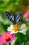 Blue-tiger-butterfly_Ritam-900.jpg