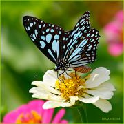Blue-tiger-butterfly_closeup_Ritam-900.jpg