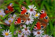 Butterfly-Paradise_Peacock-Inachis-io_Ritam-W.JPG