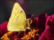 Colias_hyale_Pale_Clouded_Yellow_2015-09-26_13-29-59_.jpg