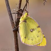 Crimean_yellow_butterfly_Colias_on_the_dry_grass_in_the_autumn.jpg