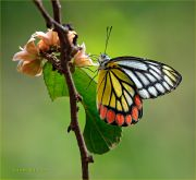 http://macroclub.ru/gallery/data/507/thumbs/Delias-eucharis-butterfly_Jezebel_Ritam-W.jpg