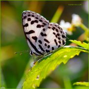 http://macroclub.ru/gallery/data/507/thumbs/Pierrot-butterfly_Ritam-900.JPG