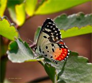 Red-Pierrot-butterfly_Ritam-W.jpg