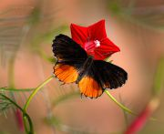 http://macroclub.ru/gallery/data/507/thumbs/Red-pierrot_Talicada-nyseus-butterfly_Ritam-W.jpg