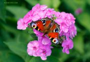 Summer-Beauty_Peacock_butterfly_Ritam-W.jpg