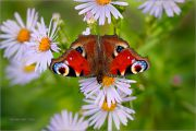 Summer-Sweets_Inachis-io-Peacock-butterfly_Ritam-W.JPG