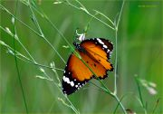 TIger_in_the_Grass_Danaus-chrysippus-butterfly_Ritam-W.jpg