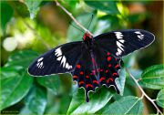 The-Mighty-One_Pachliopta-Hector-butterfly_Ritam-1290.jpg
