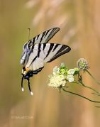 Winged-Dance-in-Golden-Dream_Ritam-W.jpg