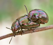 Chrysolina_cerealis20.jpg