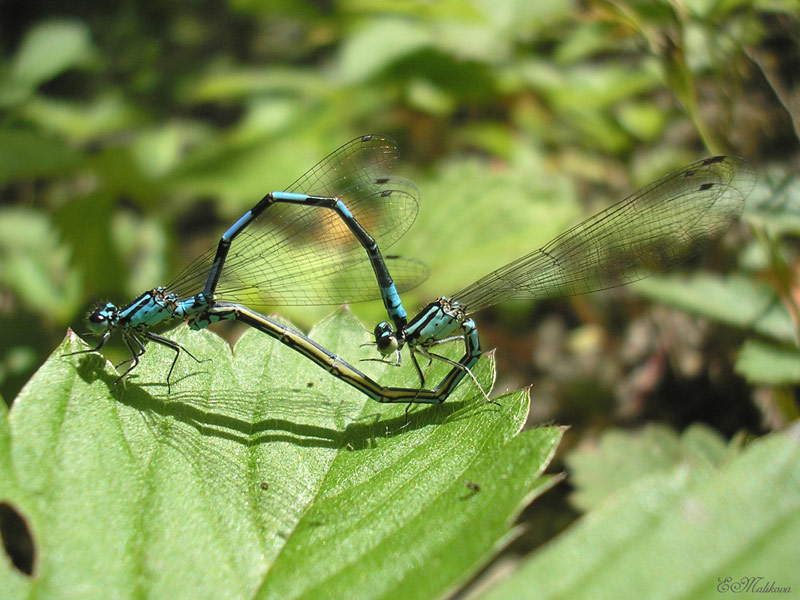 Coenagrion_johanssoni_pair1