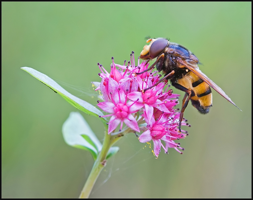 Volucella_inanis1
