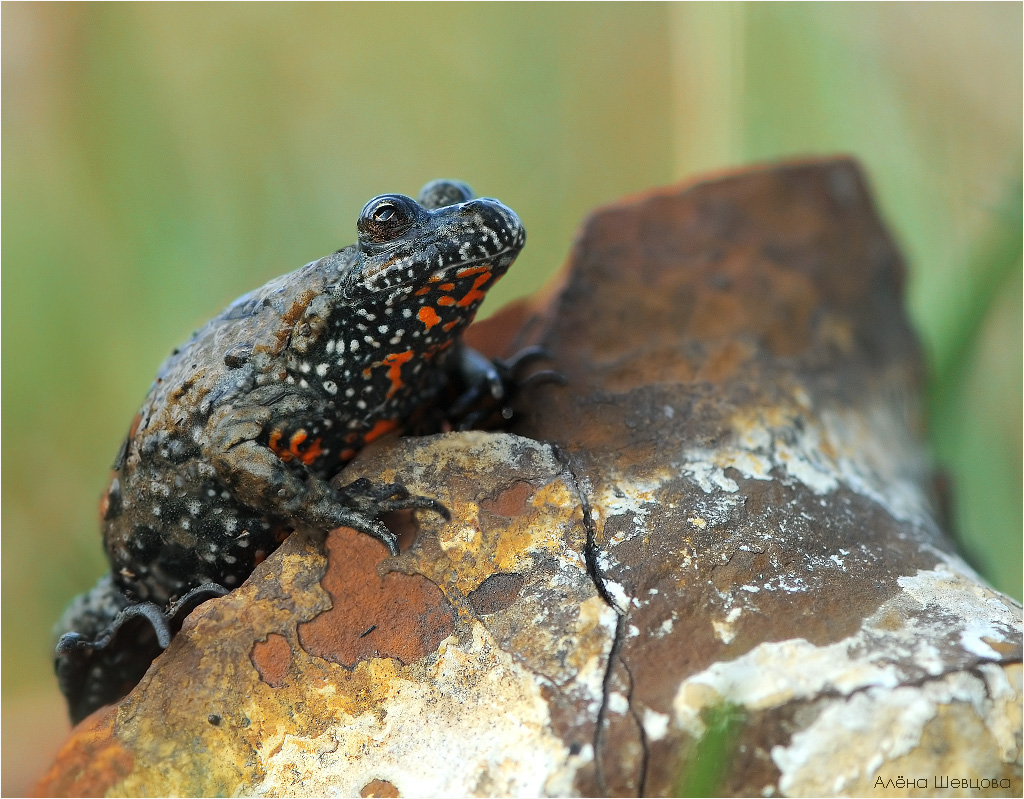 Fire+belly+toad