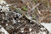 Lizard_Greece_Ritam-W.jpg