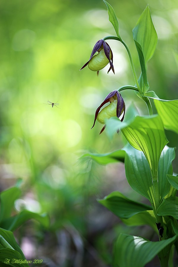 Cypripedium_calceolus3