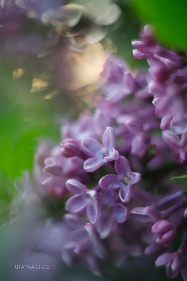 Lilac-Music-of-Spring_Ritam-W