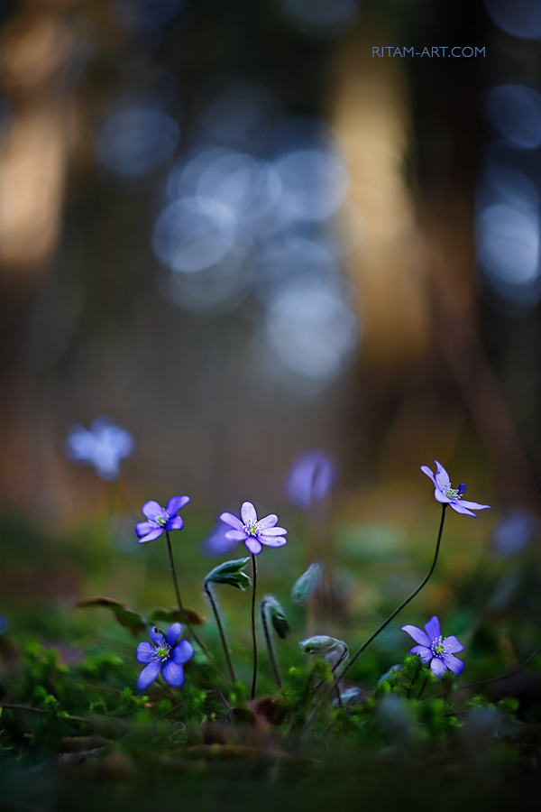 Spring-Beauties_Ritam-W