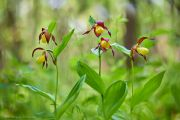 Cypripedium-calceolus_19.jpg