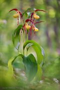 Cypripedium-calceolus_21.jpg