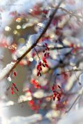 Winter-Barberry_Ritam-W.jpg