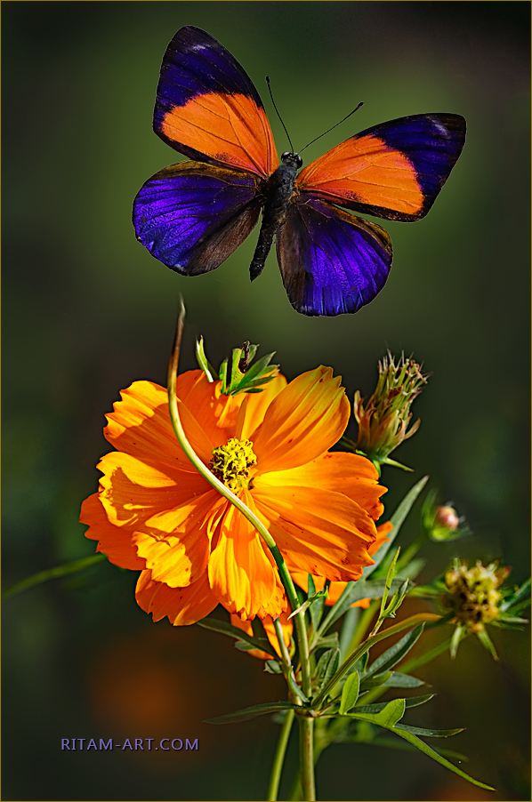 Fairies-of-Wonderland_Orange-butterfly-Cosmos-flower_Ritam-W