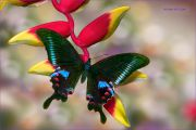 A-Winged-Gem_Papilio-Arcturus-butterfly_Ritam-W.jpg