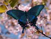Japanese-Tune_Blue-Swallowtail-in-Sakura_Ritam-W.jpg